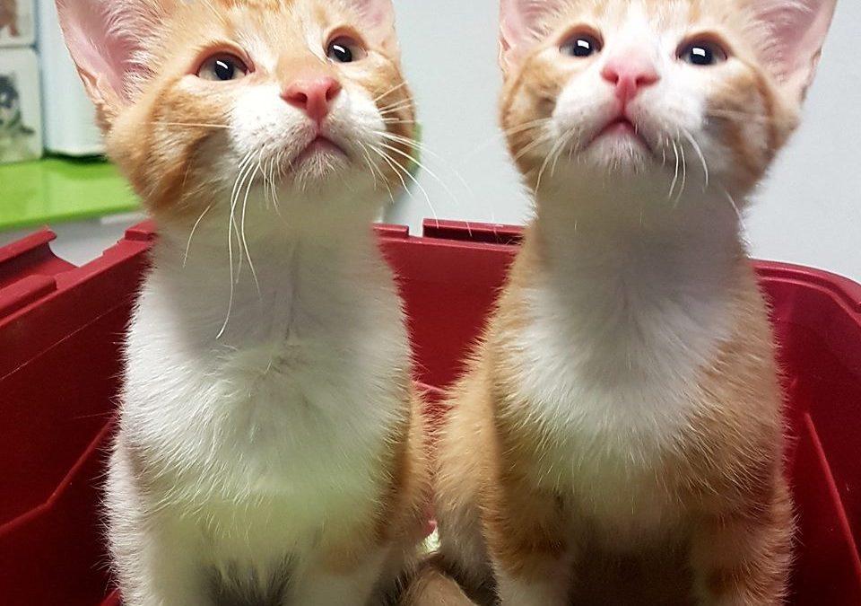 Adopción de gatitos en Donostia